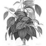 de-peperplant-klimt-op-rond-de-stam-van-een-schaduwrijke-boom